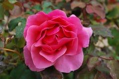 Blommad rosa färgros Arkivfoto