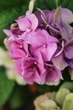 Blommad rosa vanlig hortensia Arkivfoto