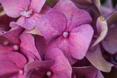Blommad rosa vanlig hortensia Arkivfoton