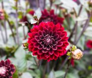 Blommadahlia dekorative Karma Choc i trädgården royaltyfria foton