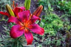 Blommade den stora blomman för den purpurfärgade liljan efter regn Arkivfoton