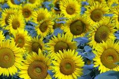 blommade fältsolrosor Royaltyfria Foton