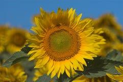 blommade solrosor Royaltyfri Fotografi