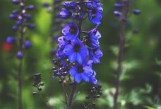 BlommaDelfinium växt arkivbilder