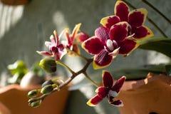 Blommadetaljen av den lilla orkidén royaltyfri bild