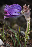 Blommadrömgräs Royaltyfri Fotografi