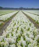 Blommafält Royaltyfri Foto