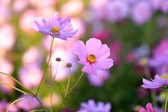 Blommafält av kosmos Royaltyfri Foto