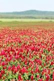 Blommafält för karmosinröd växt av släktet Trifolium Fotografering för Bildbyråer