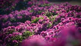 Blommafält i Carlsbad Royaltyfria Foton
