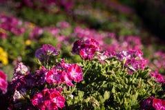 Blommafält i Carlsbad Royaltyfria Bilder