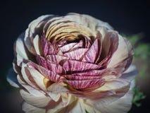 Blommafält i Carlsbad Royaltyfri Fotografi