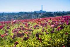 Blommafält i Carlsbad Royaltyfri Foto