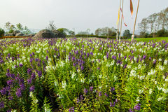 Blommafält i nordliga Thailand Royaltyfri Bild