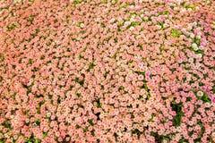 Blommafält i nordliga Thailand Arkivfoto