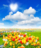 Blommafält med färgrika blandade tulpan royaltyfria foton