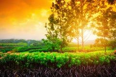 Blommafält på soluppgången Royaltyfri Bild