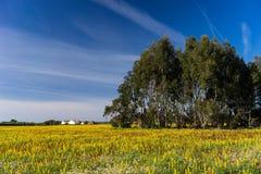 Blommafält Vila do Bispo Algarve för gul Lupine Arkivfoto