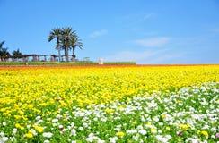 Blommafälten av Carlsbad Arkivbilder