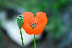 Blommafältvallmo Arkivbild