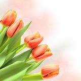 blommafjädertulpan Arkivfoton