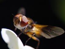 blommafluga Fotografering för Bildbyråer
