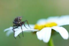 blommafluga Arkivfoto
