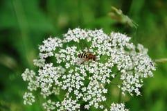 Blommafluga royaltyfria foton