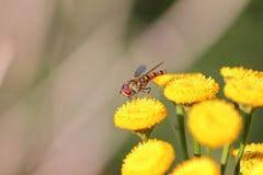 Blommafluga eller pollinera hoverfly gulingblommor den nära makroen sköt upp Royaltyfri Foto