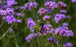 Blommafluga på lilablomman Arkivfoton