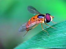 Blommafluga på ogräsen royaltyfria bilder
