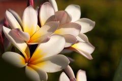 blommafrangipani Arkivbilder