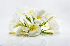 blommafrangipani Royaltyfri Fotografi