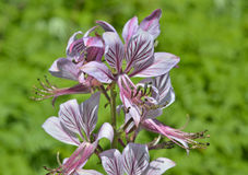 Blommafraxinella 3 Arkivbilder