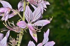 Blommafraxinella 1 Royaltyfri Foto