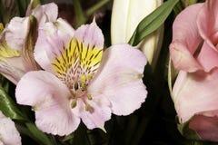 blommafreesiapink royaltyfri bild