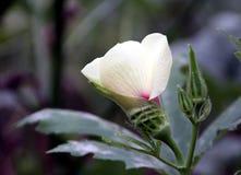 blommafruktokra Fotografering för Bildbyråer