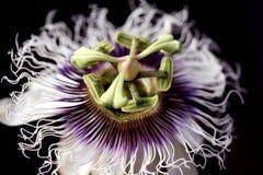 blommafruktpassion royaltyfria bilder