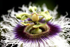 blommafruktpassion royaltyfri foto
