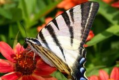 blommafruktswallowtail Royaltyfri Fotografi