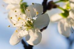 blommafruktträd Arkivfoton