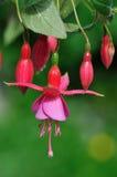blommafuchsiapink Arkivbilder
