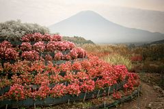 Blommagarnering och Fuji berg Arkivbild