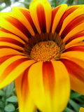 blommagazania Royaltyfri Fotografi