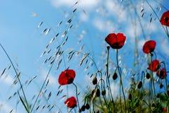 Blommagelincik çiçeği Arkivbilder