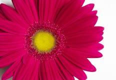 Blommagerbera. Arkivbild