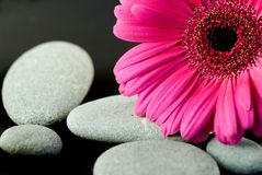 blommagerbera Royaltyfri Bild