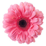 blommagerberapink Royaltyfri Bild