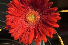 blommagerberred Fotografering för Bildbyråer