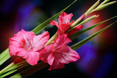 BlommaGladiolus Royaltyfri Foto